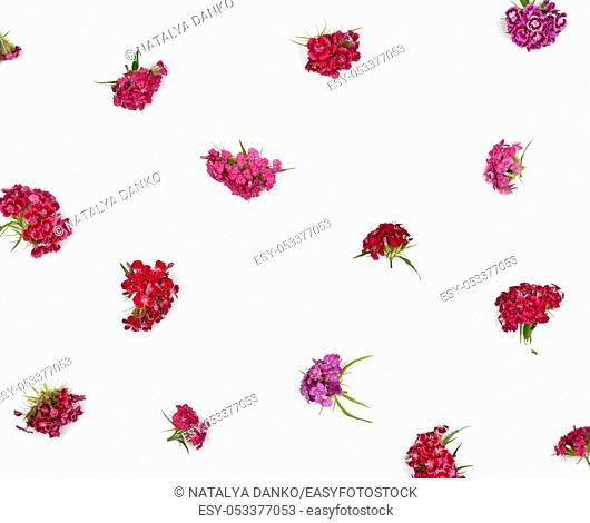 Buds blooming Turkish carnations Dianthus barbatus on a white background, flat lay