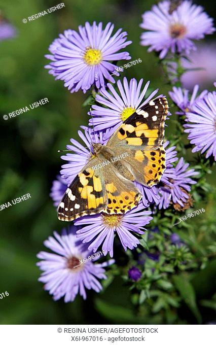 Painted Lady butterfly Vanessa cardui, feeding on Aster flowers in garden, Germany