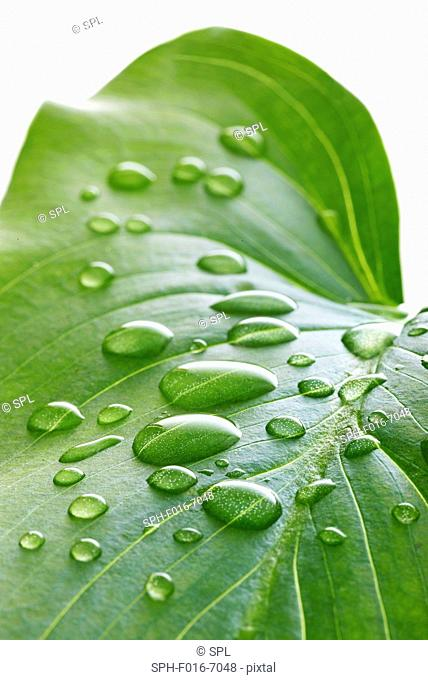 Water lily leaf with water droplets