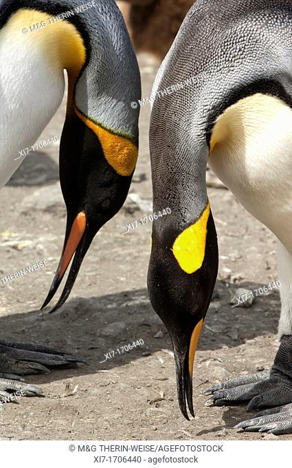 Couple of King penguins Aptenodytes patagonicus, St  Andrews Bay, South Georgia Island