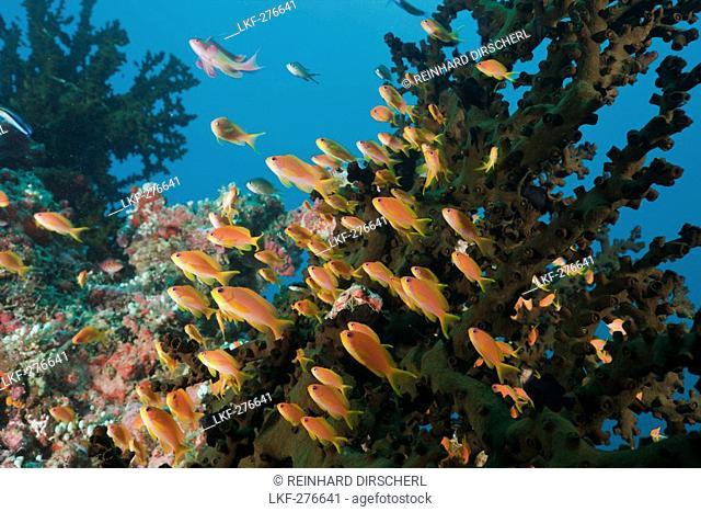 Coral Reef with Anthias, Pseudanthias squamipinnis, Maldives, North Ari Atoll