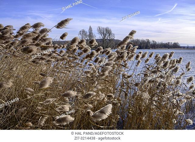 lake landscape with tussocks shaken by winter wind at touristic historical village on shore of Verbano lake, shot in bright winter light at Angera, Verbano