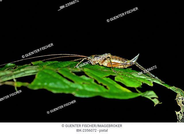 Female Bush-cricket (Tettigoniidae spec.) with an ovipositor, Tiputini rainforest, Yasuni National Park, Ecuador, South America
