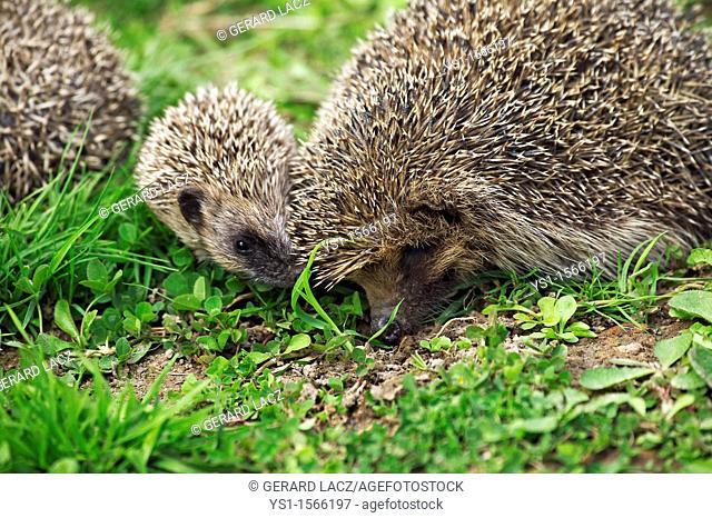 European Hedgehog, erinaceus europaeus, Female with Baby, Normandy in France