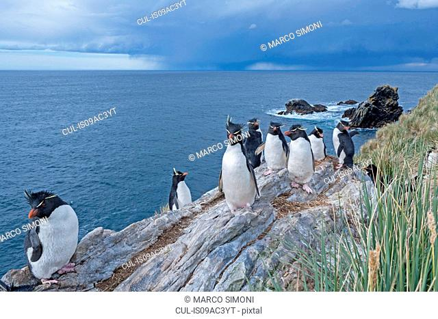 Group of Rockhopper penguins (Eudyptes chrysocome chrysocome), Falkland Islands