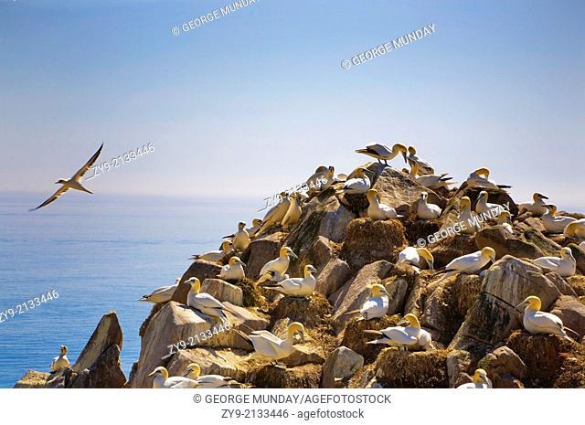 Gannet Colony, The Saltee Islands, County Wexford, Ireland