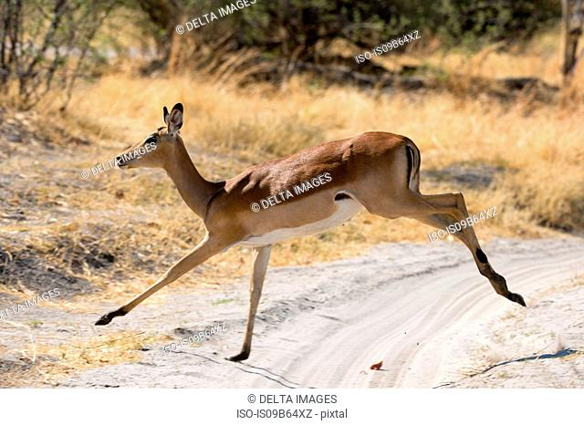 Impala (Aepyceros melampus), running, Okavango Delta, Botswana, Africa