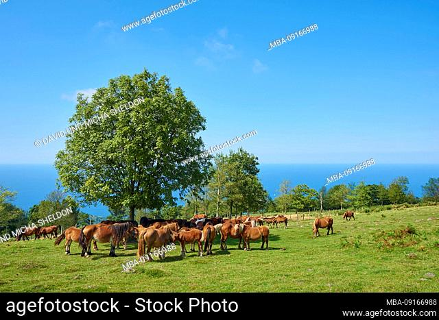 Horses (Equus ferus caballus) are standing on an alpine meadow at the Jizkibel mountain on the Way of Saint james, Basque Country, Spain