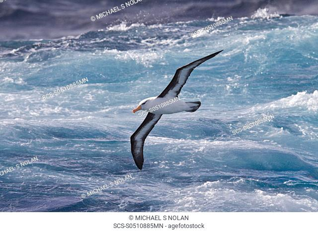 Adult Black-browed albatross Thalassarche melanophrys on the wing in the Drake Passage between South America and Antarctica