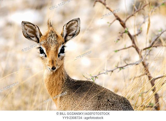 Damara Dik-Dik (Madoqua kirki) - Etosha National Park - Namibia, Africa