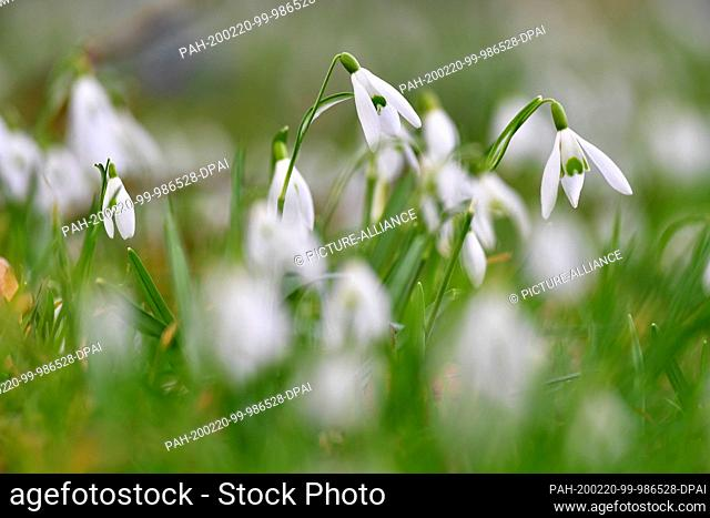 18 February 2020, Brandenburg, Wandlitz: Snowdrops, the first, flowering plants of the early spring, are now and then illuminated by the sun thanks to the gaps...