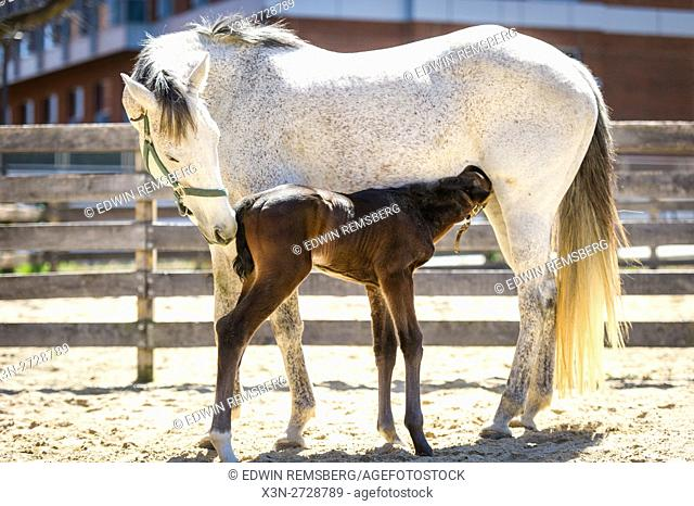 Newborn foal feeding from its mother on a farm