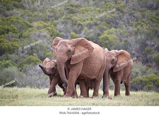 African Elephant (Loxodonta africana) group, Addo Elephant National Park, South Africa, Africa