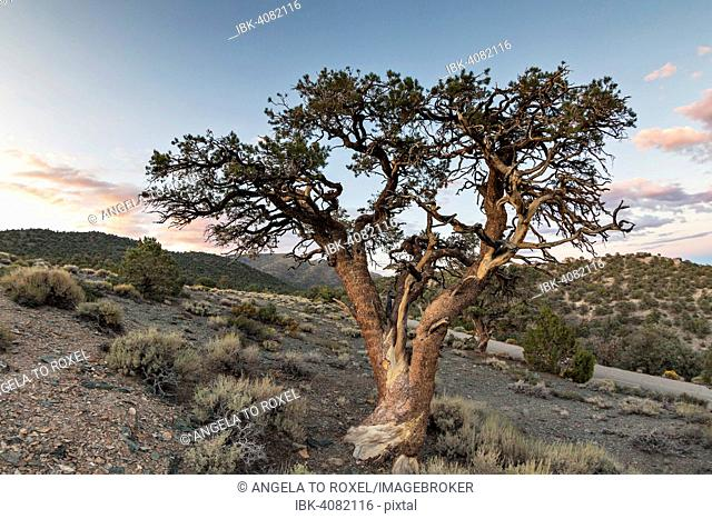 Old Colorado pinyon (Pinus edulis) in heathland in front of evening sky, White Mountains, at Schulman Grove, Bishop, California, United States