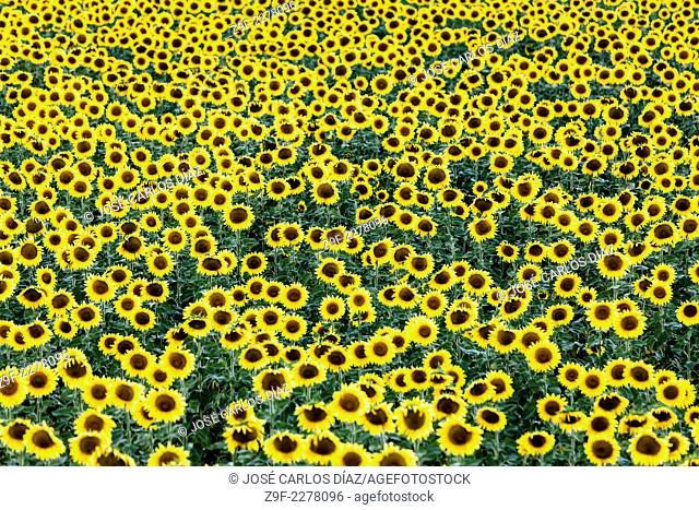 Field of sunflowers, Villar de Sobrepeña, Segovia province, Castilla-Leon, Spain