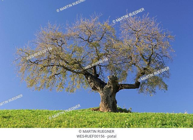 Spain, Andalucia, Single Ilex tree Quercus ilex