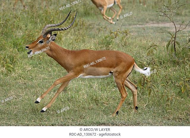 Impala male Kenya Aepyceros melampus