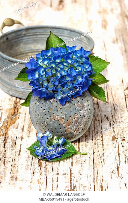 Blue hydrangea, spout of a watering can, wooden underground