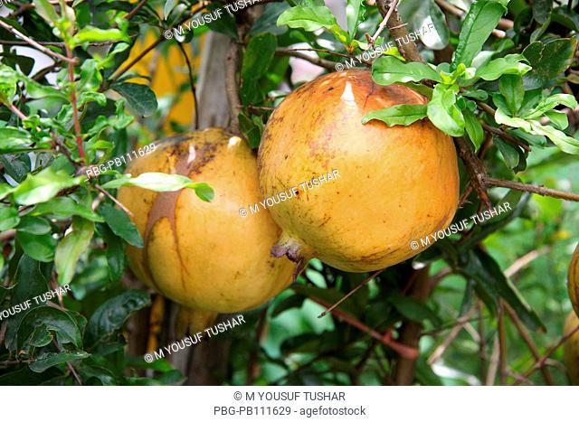 annar/pomegranate fruits tree from banladesh