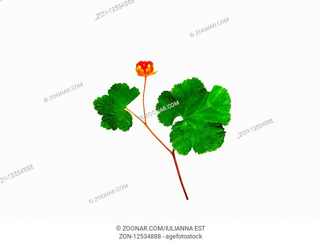 Bright cloudberries with leaves isolated on a white background