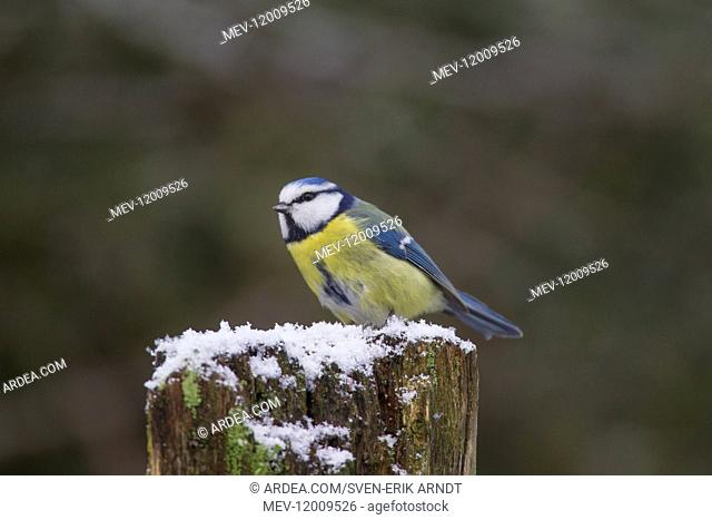 Blue Tit - adult bird in winter - Germany