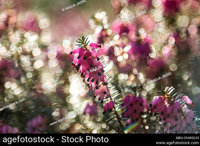 Pink flowering heather, close-up