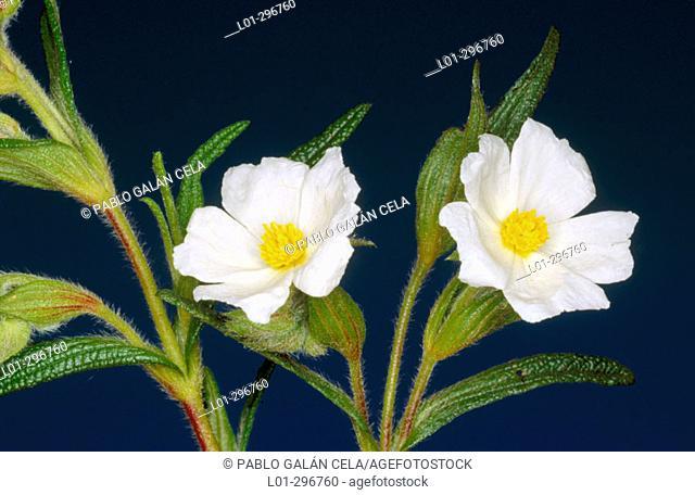 Narrow-Leaved Cistus (Cistus monspeliensis)