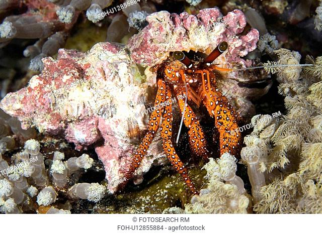 water hairy red hermit crab orange white spots