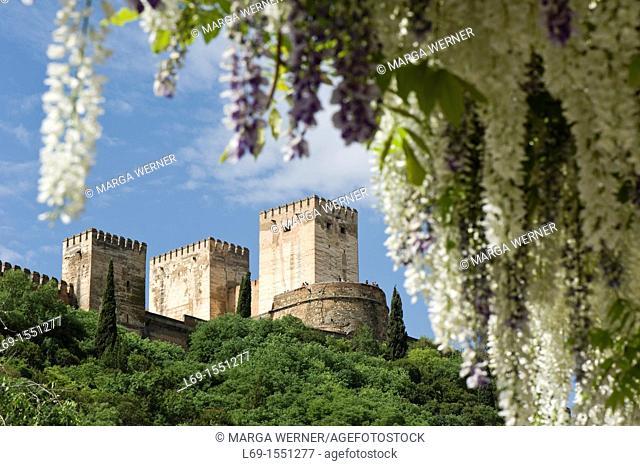 Alhambra, Alcazaba, view through flowering Wisteria from 'Carrera Del Darro', Granada, Andalucia, Spain