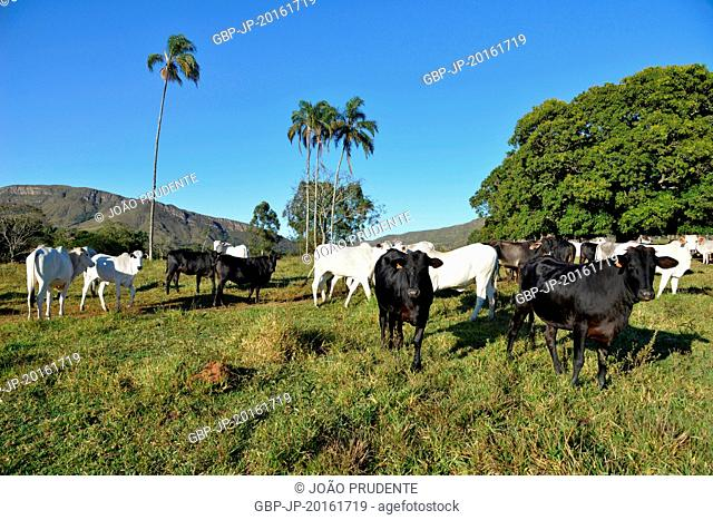 Nellore and mixed breed cattle breeding in rural areas, São João Batista do Glória, Minas Gerais, Brazil, 06.2015
