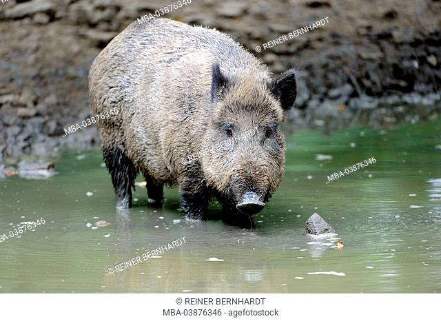 Wild boars to the beech mast