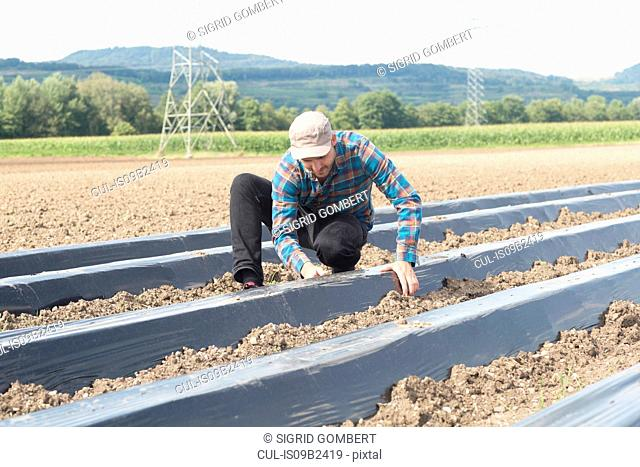 Farmer installing soil fumigation film to ploughed field