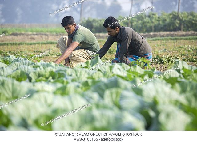 Two vegetable field labors are working at Jessore, Bangladesh
