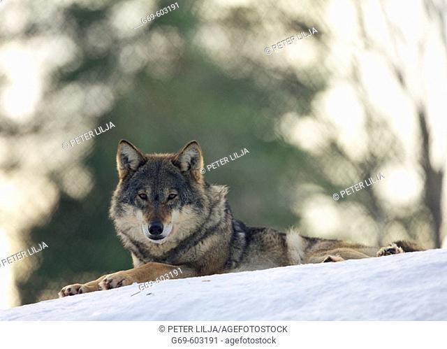 Wolf (Canis lupus). Västerbotten. Sweden