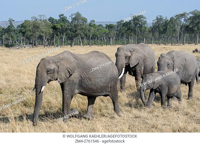 A group of African elephants (Loxodonta africana) with a baby is walking through the grassland in the Masai Mara National Reserve in Kenya