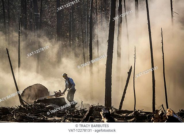 A tree faller, contracted by Crook Logging, removes trees that were damaged during a 2013 wildfire in the Stanislaus National Forest along Evergreen Road near...