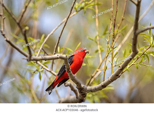 Male Scarlet Tanager (Piranga olivacea) in breeding plumage, Prince Edward Point National Wildlife Area, Ontario, Canada