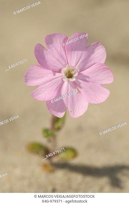 Flor de colleja de playa en las dunas  Flower of Silene littorea littorea in sand dunes  Pontevedra, España