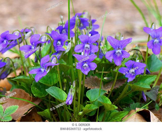 early dog-violet (Viola reichenbachiana), blooming, Germany, Bavaria, Oberbayern, Upper Bavaria