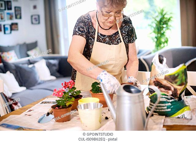 Senior adult woman potting plants on table