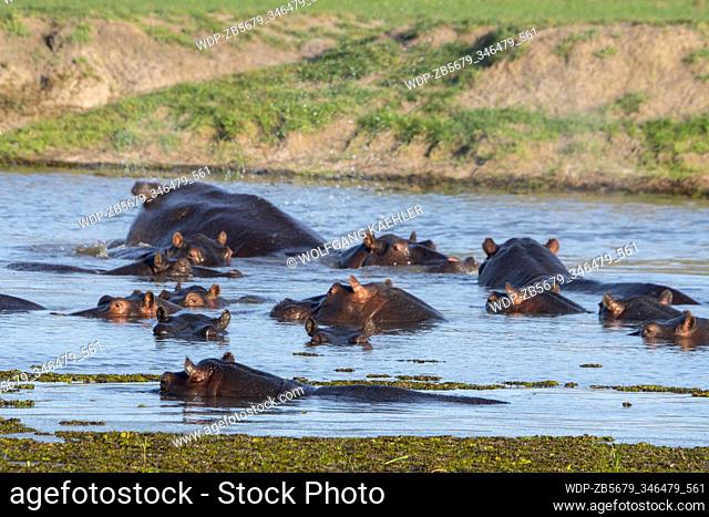 Hippopotami (Hippopotamus amphibius) in a river in the Gomoti Plains area, a community run concession, on the edge of the Gomoti river system southeast of the...