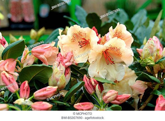 rhododendron (Rhododendron 'Viscy', Rhododendron Viscy), cultivar Viscy