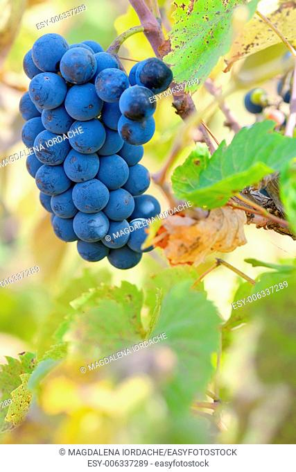 Red grapes on a vine with rich autumn colors