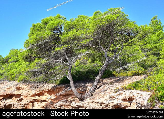 Aleppo pine (Pinus halepensis) is an evergreen coniferous tree native to Mediterranean basin, specially in eastern Spain
