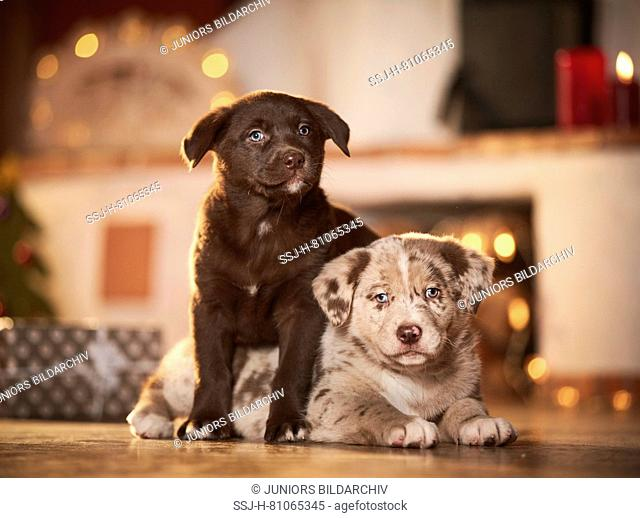 Mixed-breed dog. Two puppies in a room decorated for Christmas. Germany