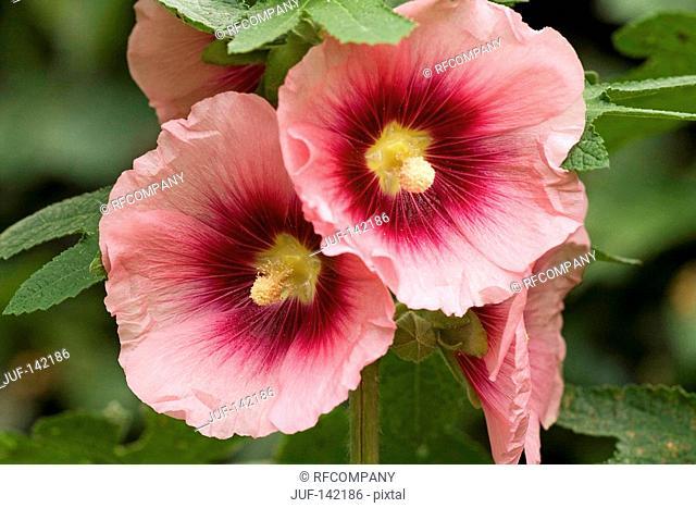 Common Hollyhock - blossoms / Alcea rosea