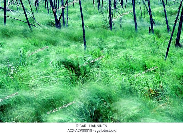 Grasses waving in the wind, Manitoulin Island, Ontario, Canada