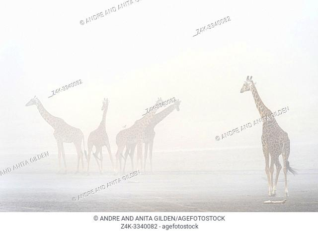 Small herd of Giraffe (Giraffa camelopardalis) in sandstorm, Ndutu lake, Ngorongoro conservation area, Tanzania