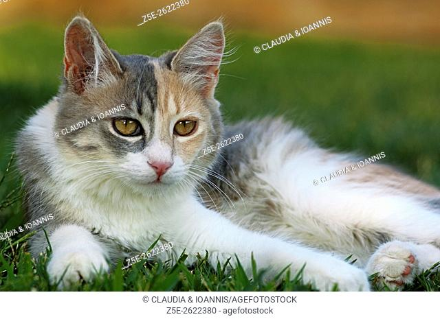 Young calico cat resting in the garden