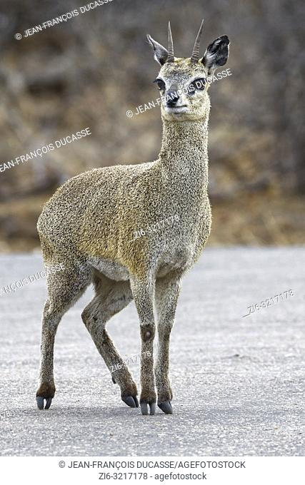 Klipspringer (Oreotragus oreotragus), adult male, standing on a tarred road, alert, Kruger National Park, South Africa, Africa